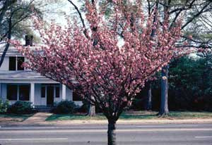 Picture of Flowering Cherry (Prunus serrulata 'Kwanzan') tree form with spring flowers.