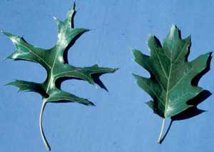 Picture of Pin Oak (Quercus palustris) leaf structure compared to fuller Northern Red Oak (Quercus rubra).