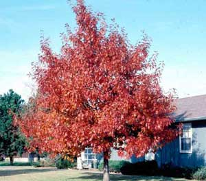 Picture of Northern Red Oak (Quercus rubra) tree form in fall red color.