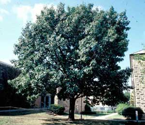 Picture of Northern Red Oak (Quercus rubra) tree form.