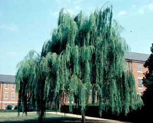 Picture of Weeping Willow (Salix alba 'Tristis') tree form.