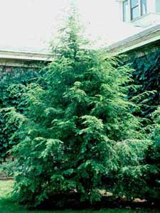 Picture of Canadian Hemlock (Tsuga canadensis) tree form