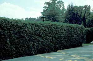 Picture of Canadian Hemlock (Tsuga canadensis) plants grown as a hedge row.