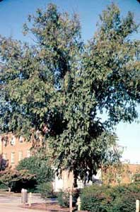 Picture of Chinese Elm (Ulmus parvifolia) tree form