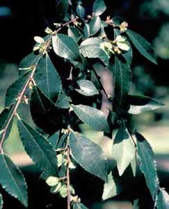 Picture closeup of Chinese Elm (Ulmus parvifolia) fruit and leaf structure.