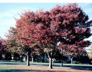 Picture of several Zelkova (Zelkova serrata) trees in faded maroon fall color.