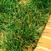 Photo of fescue grass next to a brick sidewalk.