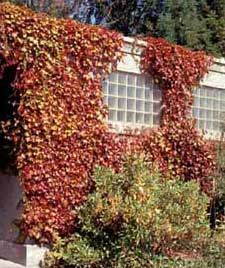 Photo of Boston Ivy growing on a building in fall color.
