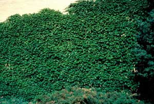 Photo of Boston Ivy form supported by a large fence