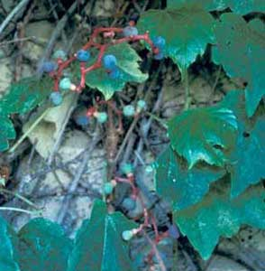 Photo of Boston Ivy fruit
