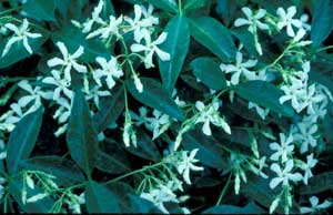 Photo of Confederate Jasmine vine flower and leaves.