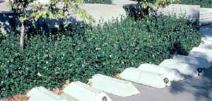 Photo of Confederate Jasmine vine used as a groundcover