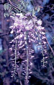 Photo of a wisteria vine with cascading flowers