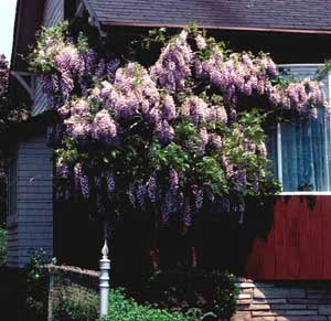 Photo of a wisteria vine show in an additional shrub form.