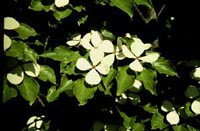 Picture closeup of Celestial Dogwood white flowers.