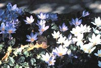 Picture of Autumn Crocus with white and blue flowers.
