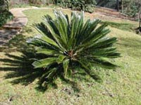Picture of Sago Palm plant showing feather-like leaves.