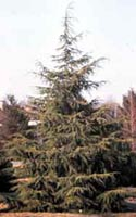 Picture of Deodara Cedar tree.