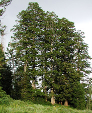 Picture of a Douglas Fir.
