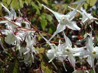 Picture of Barrenword white flowers with spike shapes.