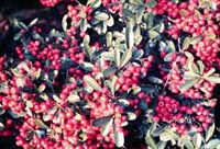 Picture of Laland Pyracantha (or Firethorn) clusters of red berry-like fruit.