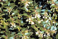 Picture of Glossy Abelia leaves and white flowers.