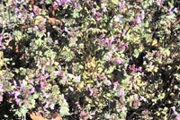 Picture of Henbit (Lamium amplexcaule) foilage and purple flowers.