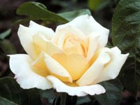 Picture closeup of single yellowish-white Peace Rose flower.