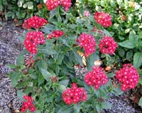 Picture of Butterfly Penta plant with red flowers.