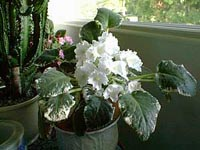 Picture of White African Violets with variegated leaves.