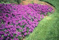 Picture of a carpet of deep purple flowers of Homestead Purple Verbena.