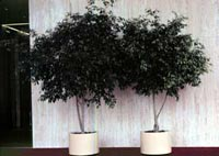 Picture of two potted Weeping Fig trees.