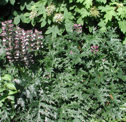 Picture of Acanthus