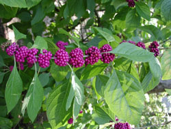 Picture of American Beautyberry