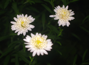 Picture of Japanese Aster flowers