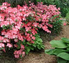 Picture of a Margaret Douglas azalea bush