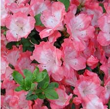 Picture of Margaret Douglas azalea blooms