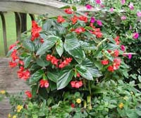 Picture of dragon wings begonia, begonia with deep, glossy-green, 5-inch long leaves and drooping clusters of flowers