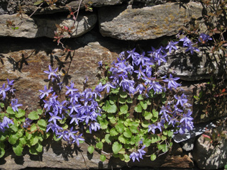 Picture of Bellflowers growing on a wall.