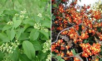 Picture (on left) of Bittersweet tiny blooms and green leaves, picture (on right) of Bittersweet branches with clusters of orange-red berries.