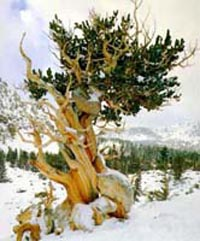 Picture of Bristlecone Pine in mountains and winter snow.