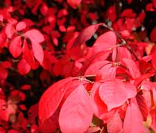 Pictures of a Burning Bush leaves