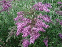 Picture of Butterfly Bush with purple flowers.  Also known as  Summer Lilac.
