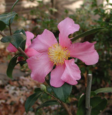 Picture of a Camellia.