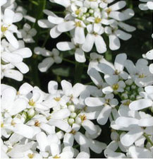 Picture of candytuft flowers.