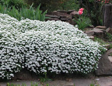 Picture of candytuft.