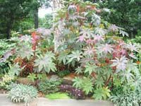 Picture of Castor Bean (or Mole Bean) plant showing red and reddish-green leaves.