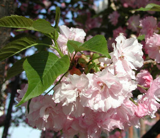 Picture of Kwanzan Cherry blooms