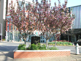Picture of Kwanzan Cherry trees.