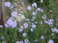 Picture of chicory, multi-petaled sky blue colored flowers.